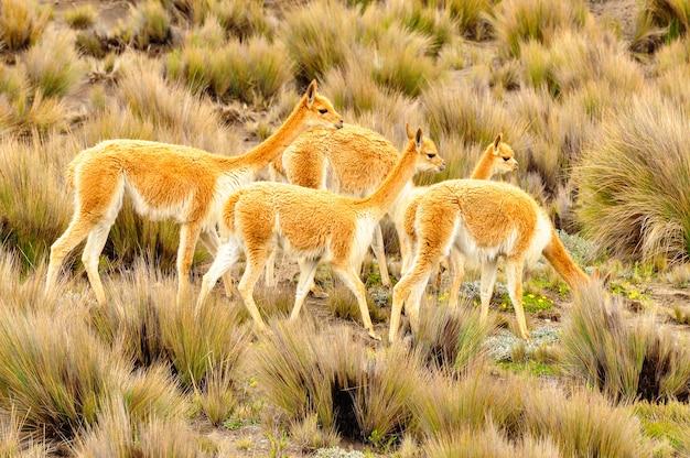 Um grupo de vicunhas