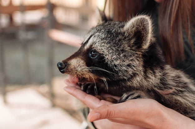 Um guaxinim fofo senta-se nos braços de uma garota. guaxinim fofo fofo. um mamífero domesticado em um zoológico. foco seletivo
