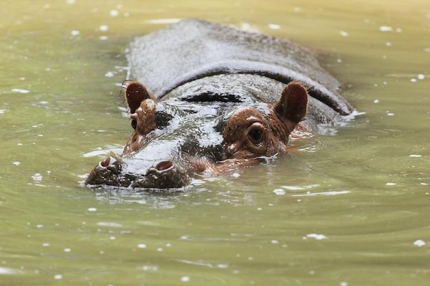 Um hipopótamo em uma poça.