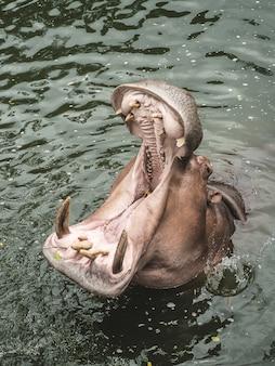 Um hipopótamo na água