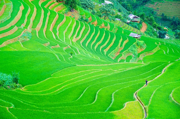 Um homem andando no centro bonito arrozal em terraços arrozal e paisagem de montanha em mu cang chai