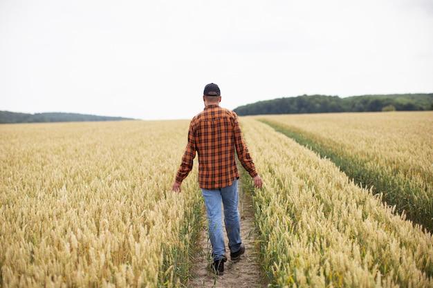 Um homem caminha por um campo de trigo e o examina