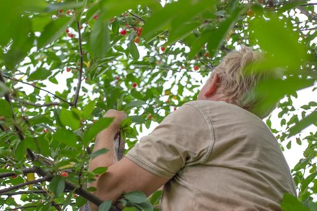 Um homem coleta cerejas maduras enquanto está sentado em uma árvore. deliciosas frutas com vitaminas saudáveis no verão. Foto Premium