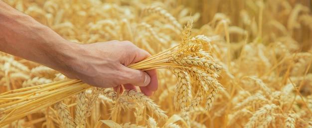 Um homem com espigas de trigo nas mãos.