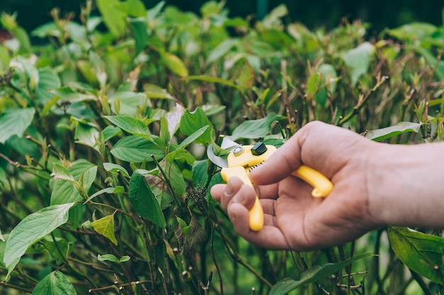 Um homem com uma tesoura corta plantas verdes.