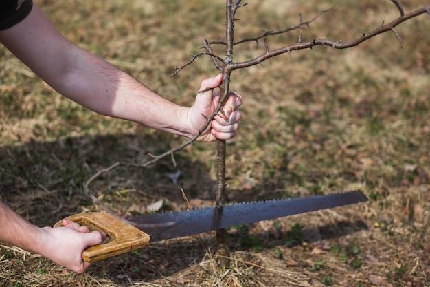 Um homem corta uma maçã selvagem no jardim.