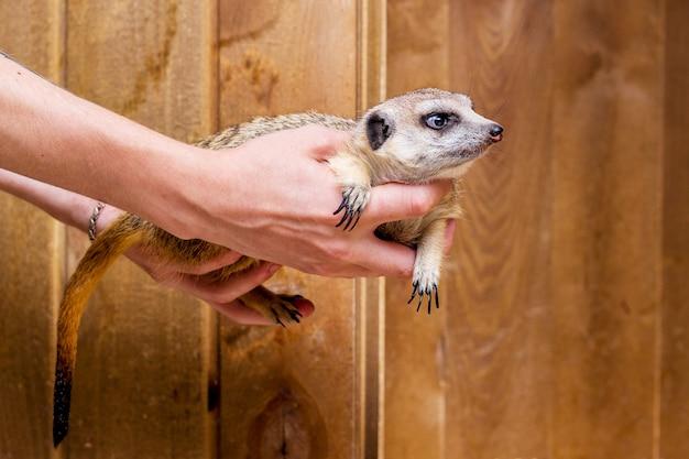 Um homem está nas mãos de um suricato_