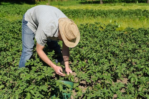 Um homem está removendo larvas do besouro da batata do colorado.