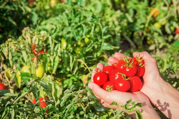 Um homem está segurando tomates caseiros em suas mãos. foco seletivo.
