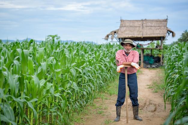 Um homem idoso feliz que é um fazendeiro sênior em pé com uma enxada e caminhando no campo de milho.