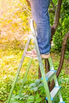 Um homem no jardim está em uma escada dobrável e colhe cerejas maduras de uma árvore. deliciosas frutas com vitaminas saudáveis no verão.