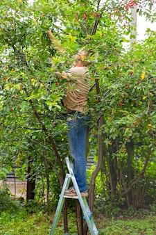 Um homem no jardim está em uma escada dobrável e colhe cerejas maduras de uma árvore.