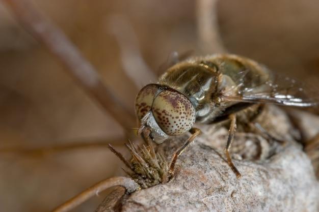 Um, horsefly, (haematopota, pluvialis)