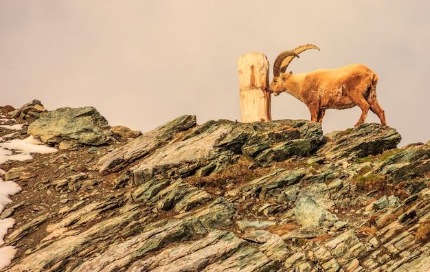Um íbex (capra caucasica) observa o tronco da árvore no penhasco da montanha de gornergrat