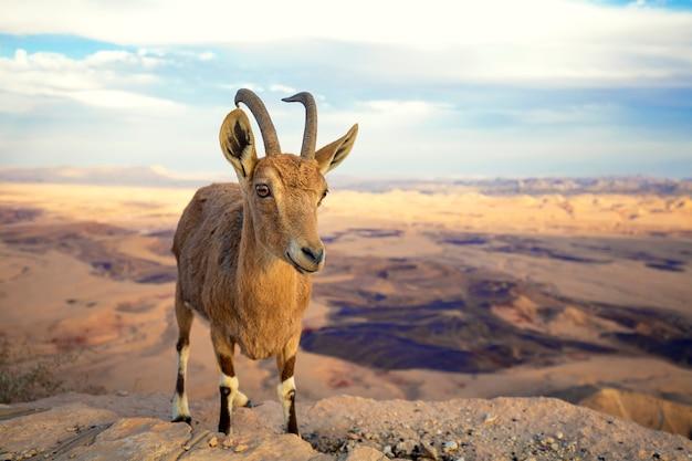Um íbex núbio na borda da cratera makhtesh ramon no deserto de negev, israel