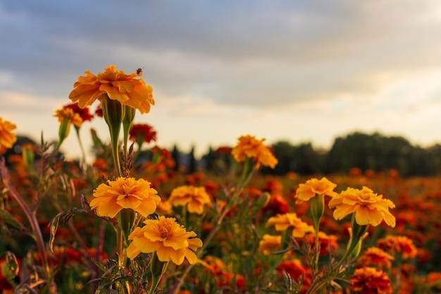 Um inseto senta-se em uma flor de tagetes e aprecia o pôr do sol