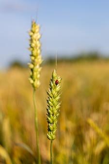 Um inseto, uma joaninha em uma espiga de centeio ou trigo.