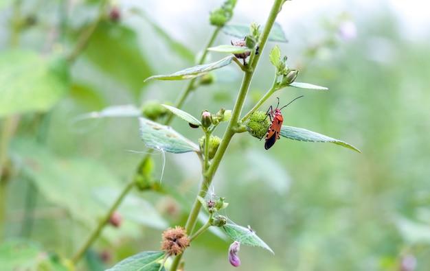 Um inseto vermelho ou firebug sentado em uma árvore selvagem de perto