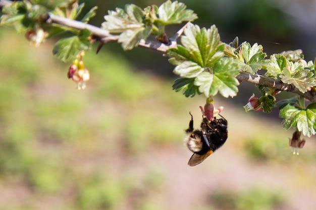 Um inseto zangão pousado em uma flor de groselha em um quintal na primavera polinizando plantas