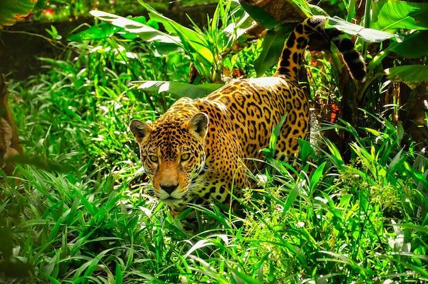 Um jaguar adulto espreitando na grama