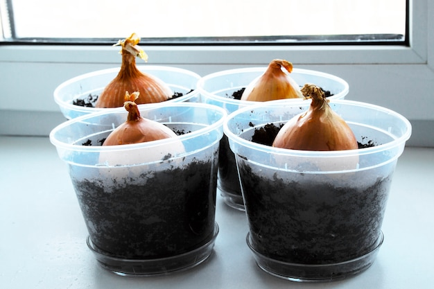 Um jardim de cebola jovem no parapeito da janela. cultivo de cebolas no parapeito da janela. cebolinha fresca em casa jardinagem interna, cultivo de cebolinhas em vaso de flores no parapeito da janela.