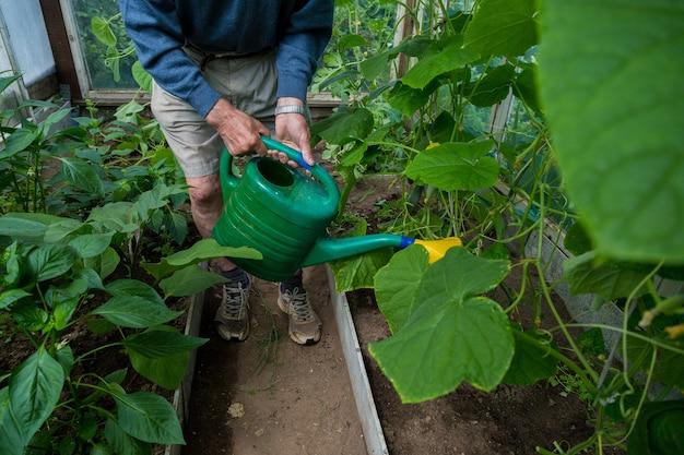 Um jardineiro idoso trata os tomates com fertilizante contra o escurecimento e oídio