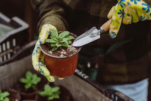 Um jardineiro usando luvas de borracha está plantando mudas em um vaso com uma ferramenta de jardim.