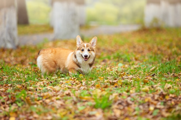 Um jovem cachorro corgi passeia com seu dono em um parque de outono