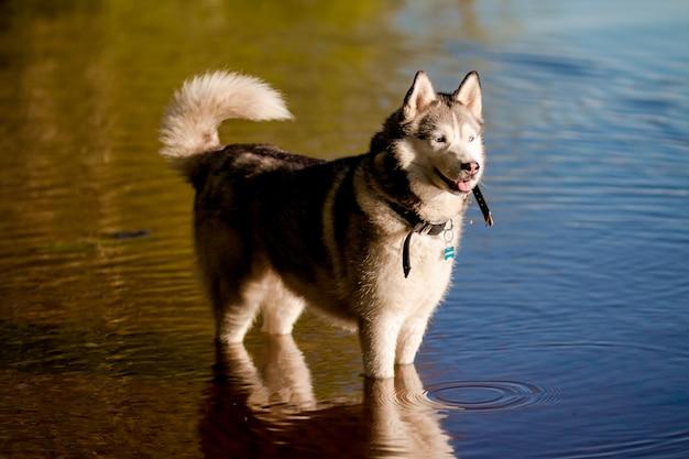Um jovem cão husky siberiano está no lago