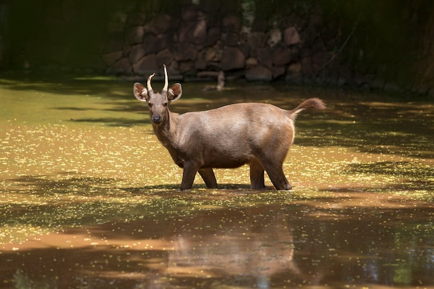 Um jovem cervo bebe água