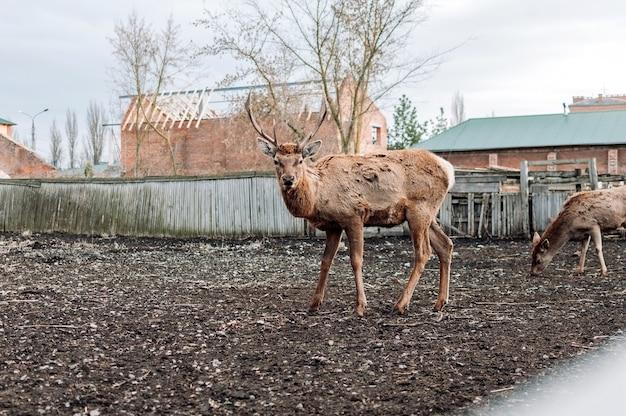 Um jovem cervo no aviário do zoológico em condições limitadas