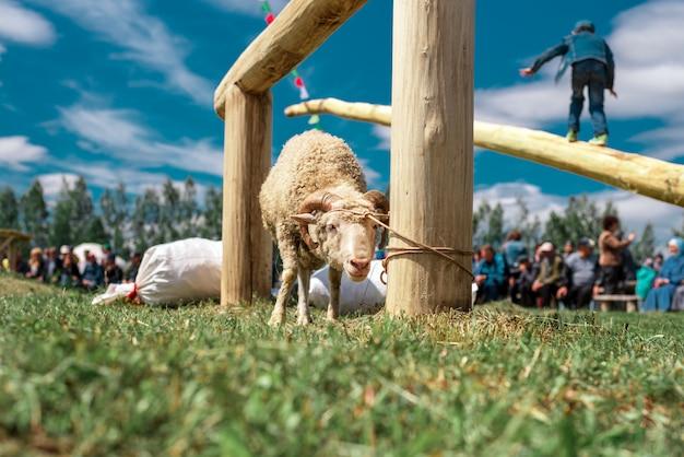 Um jovem cordeiro amarrado a um poste. festival folclórico