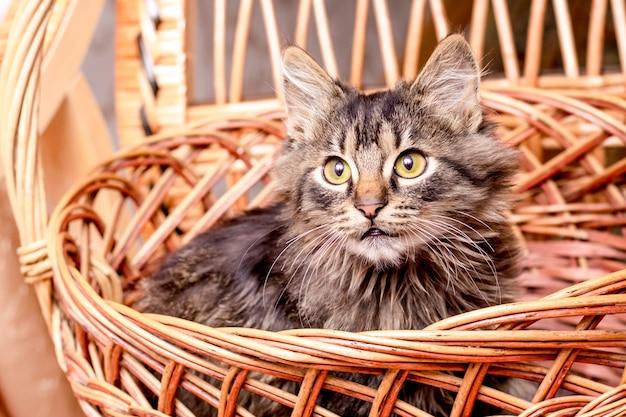 Um jovem gato listrado senta-se em uma cesta e olha cuidadosamente para cima
