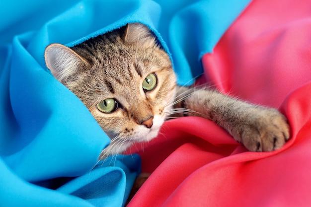 Um jovem gato malhado encontra-se entre o tecido azul e vermelho escolhendo a cor vermelha colocando uma pata