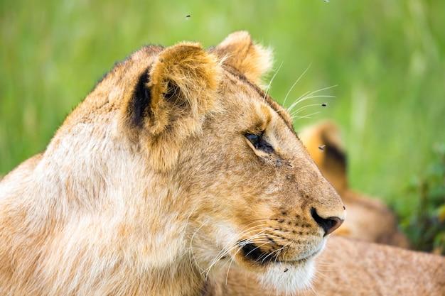 Um jovem leão em close-up, o rosto de um leão quase adormecido