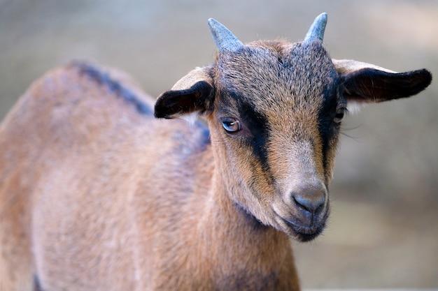 Um, jovem, macho, cabra