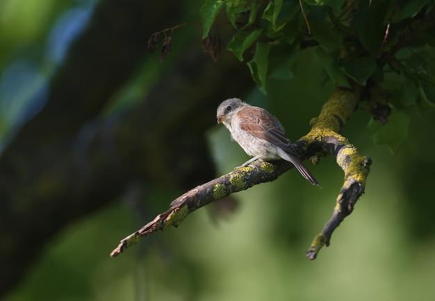 Um jovem picanço-de-dorso-ruivo (lanius collurio) senta-se à sombra em um galho grosso de uma árvore, esperando sua presa. foto detalhada de close-up