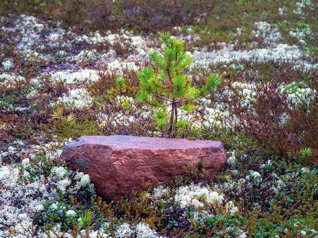 Um jovem pinheiro cresce perto de uma rocha de granito. densa floresta ártica do norte. fundo natural.