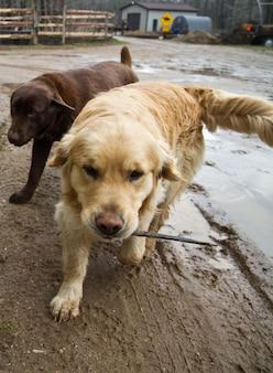 Um laboratório de chocolate e um golden retriever brincam na lama em um dia nublado e trazem gravetos