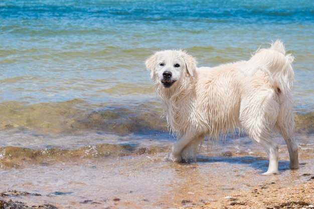 Um labrador nadando no mar o cachorro brincando na água com pelo molhado