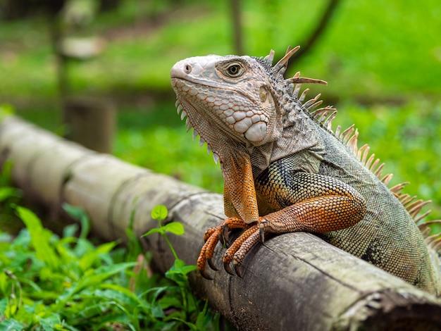 Um lagarto em pé na madeira no jardim