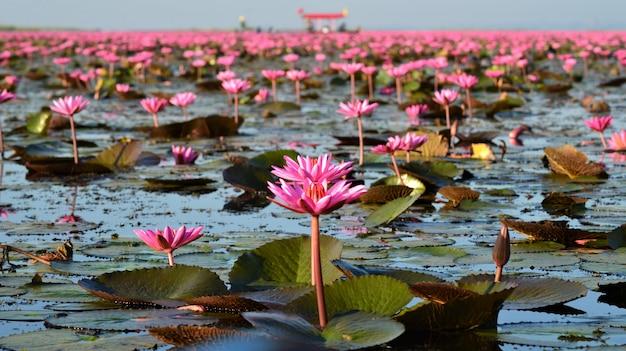 Um lago cheio de água rosa lilly