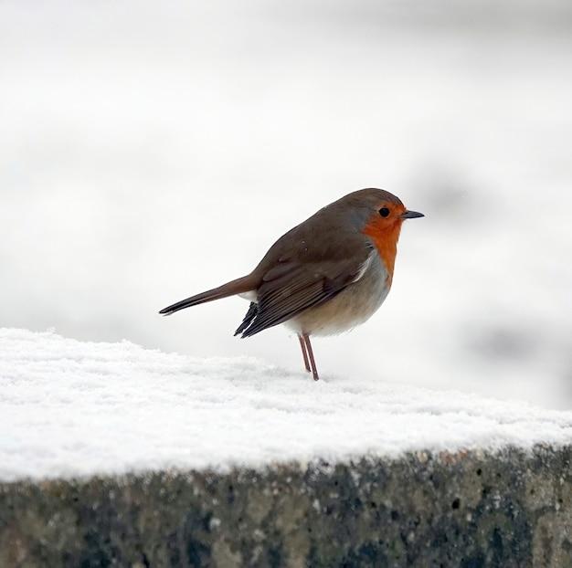 Um lance de robin europeu gordinho parado em uma superfície de pedra com neve