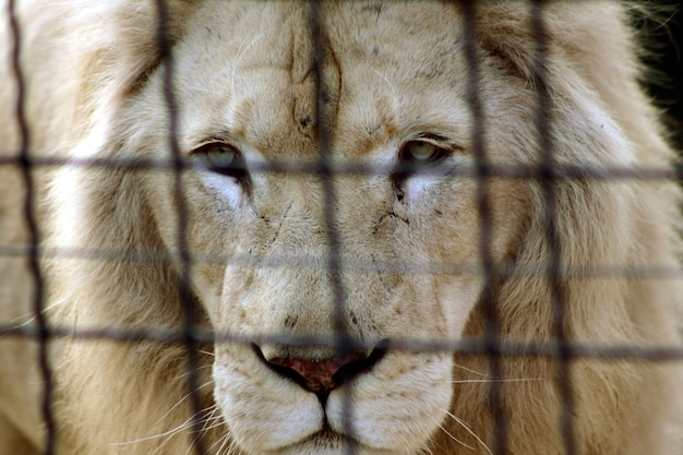 Um leão branco