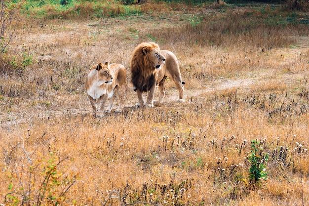 Um leão com uma juba e uma leoa relaxam juntos