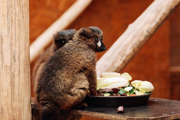 Um lêmure de cauda anelada está comendo uma fruta enquanto está sentado em um tronco