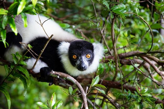 Um lêmure em uma árvore entre a folhagem em uma floresta tropical em madagascar