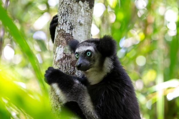 Um lêmure indri na árvore observa os visitantes do parque