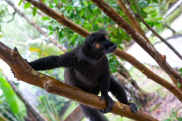 Um lêmure preto em uma árvore esperando uma banana