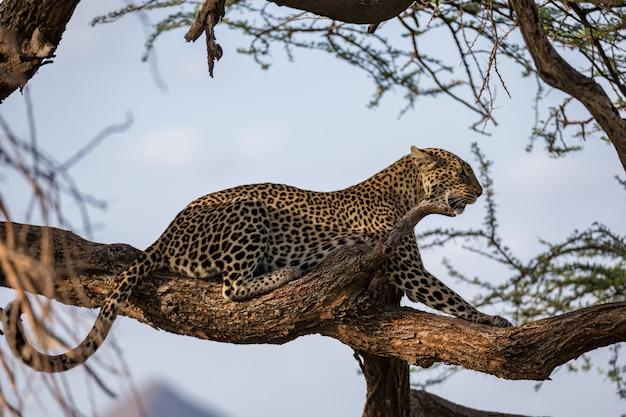 Um leopardo descansa no galho de uma árvore